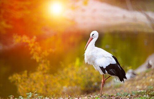 una cicogna di profilo al tramonto