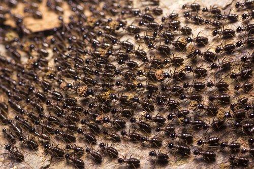 L'affascinante mondo delle formiche legionarie