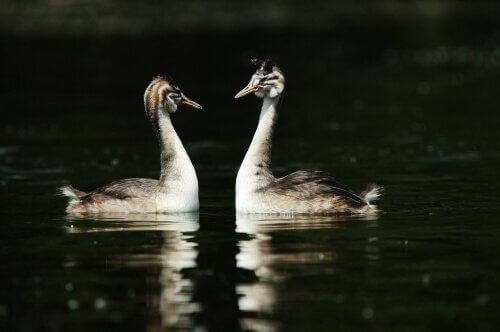 una coppia di Svasso dal cappuccio nel corteggiamento