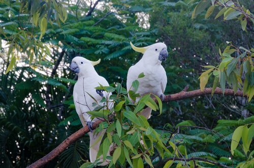 Coppia di cacatua bianchi nella foresta