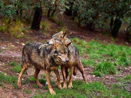 Lupo iberico: un predatore dal fascino unico