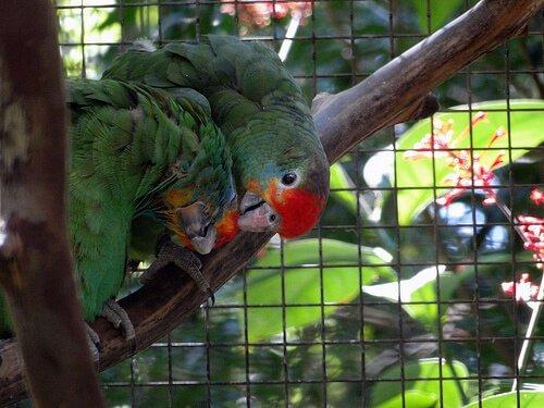 Coppia di pappagalli verdi con testa rossa in una voliera