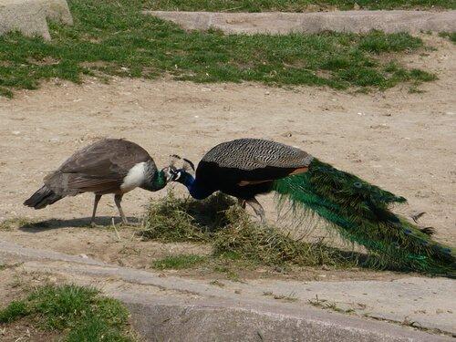 Coppia di pavoni si toccano i becchi