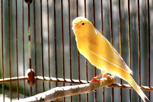 canarino nella gabbia su trespolo