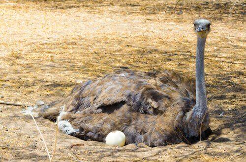 una femmina di struzzo mentre cova le sue uova all'ombra di un albero