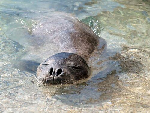 una foca respira con il naso a pelo d'acqua