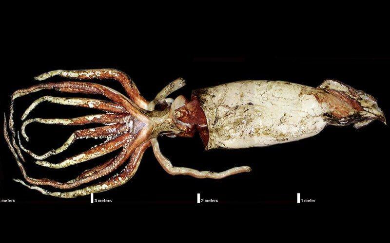 una foto ai raggi x di un Calamaro gigante
