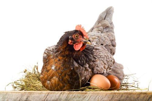 Come mai le galline mangiano le loro uova?