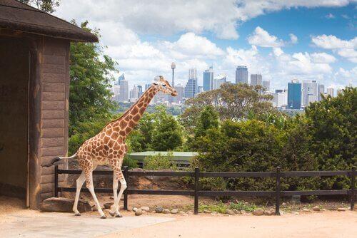 Giraffa in uno zoo americano