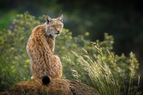 Lince iberica: il felino più minacciato al mondo