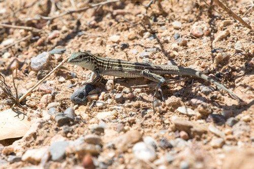 una lucertola grigia nel deserto
