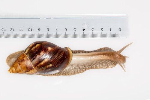una lumaca misurata con un righello scolastico