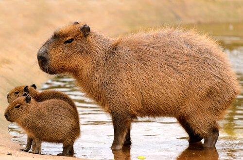 Roditori più grandi della fauna selvatica