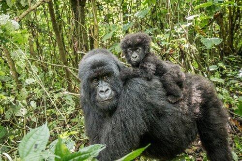 Mamma di Gorilla di montagna col suo piccolo sul dorso