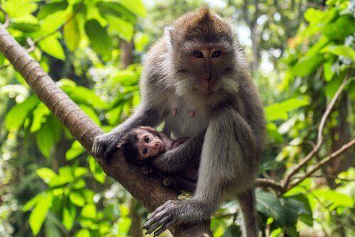 Macaco cinomolgo: caratteristiche, comportamento e habitat
