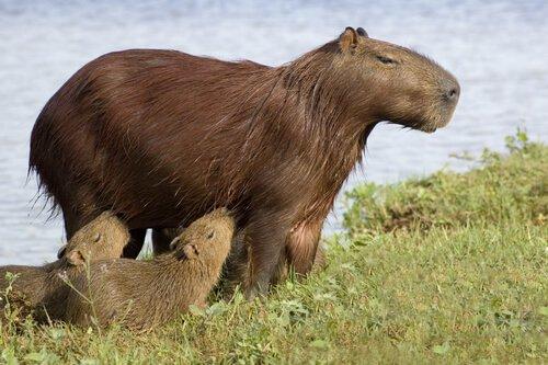 Mamma di capibara con due piccoli