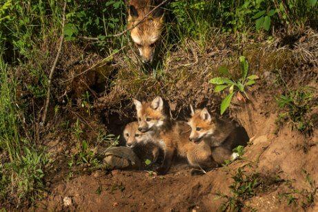 Mamma di volpe rossa con tre cuccioli nella tana