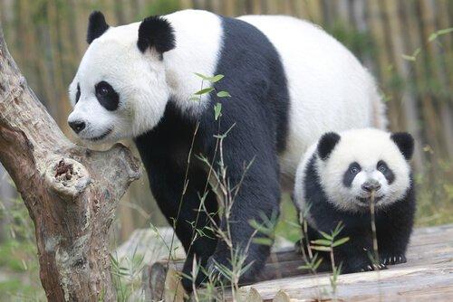 Mamma panda con un cucciolo
