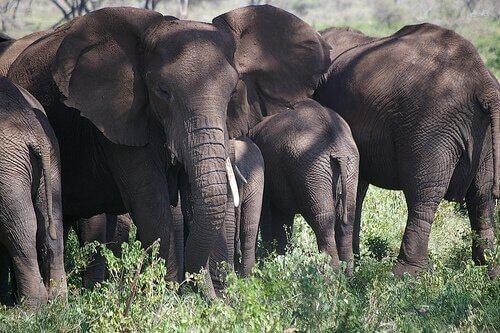 Mandria di elefanti grigi