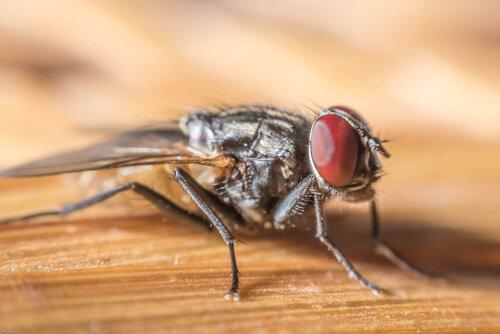 una mosca dagli occhi rossi su una tavola di legno