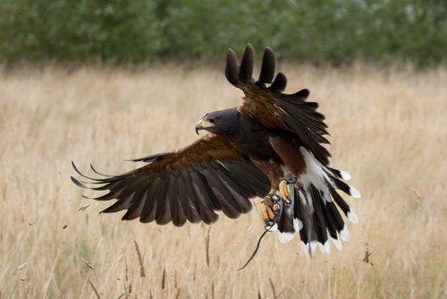 una poiana di harris mentre atterra su di un campo