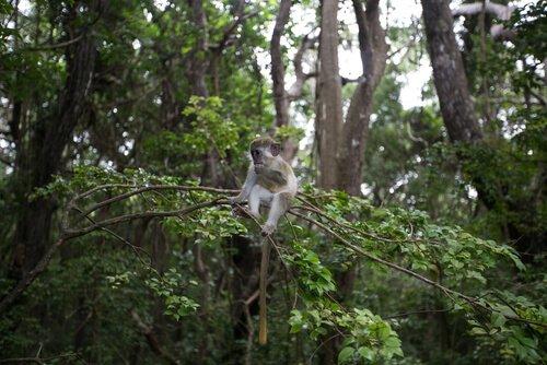 una scimmia mimetizzata tre le foglie di un albero