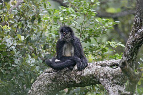 una scimmia ragno accucciata su un ramo