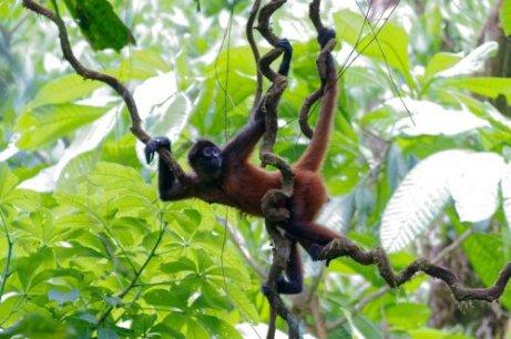 una scimmia ragno si spertica tra i rami della foresta