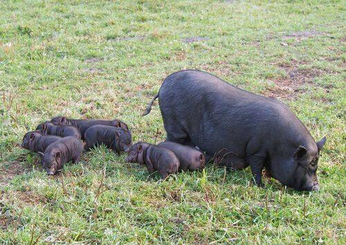 una scrofa con la sua cucciolata di maialini