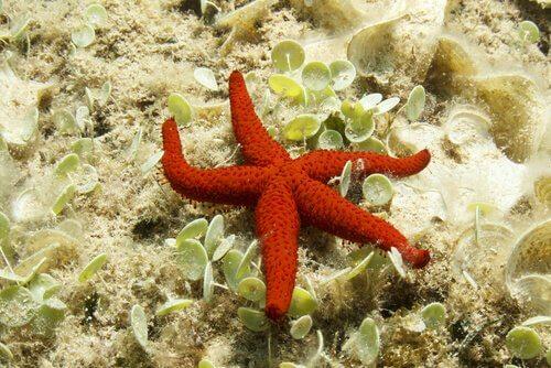 Stella marina rossa appoggiata su una roccia