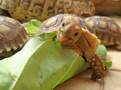 L'alimentazione della tartaruga africana