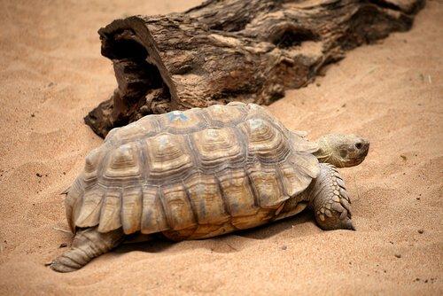 una tartaruga di terra tra le dune di un deserto