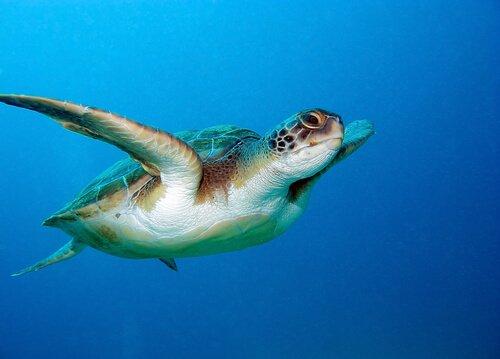 L'incredibile senso di orientamento della tartaruga marina