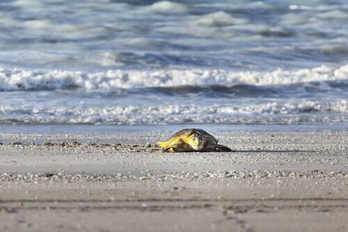 Tartaruga marina su una spiaggia