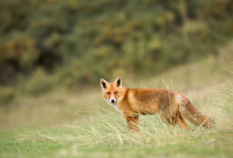 La volpe rossa: scopriamo questa bellissima specie