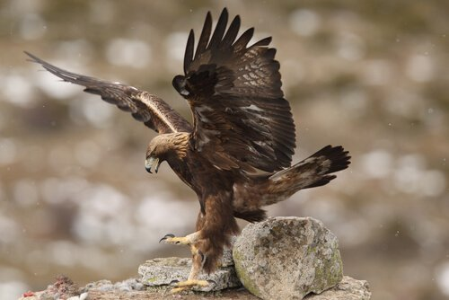Un'aquila imperiale iberica mentre atterra