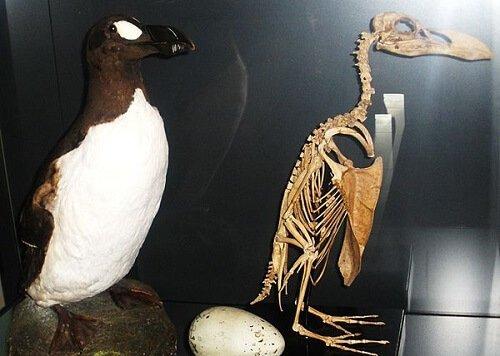 un'alca imbalsamata e il suo scheletro in un museo