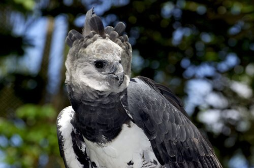 Aquila arpia vista da vicino
