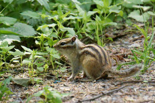 uno scoiattolo siberiano visto di profilo