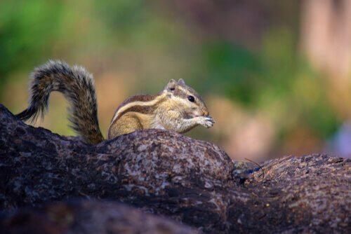 uno scoiattolo del tipo tamia su un ramo