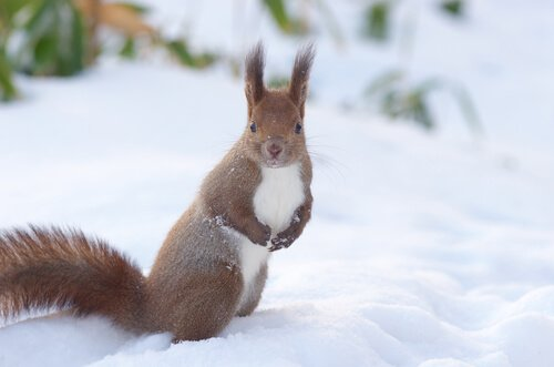 uno scoiattolo rosso sulla neve