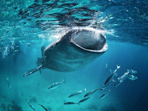 uno squalo balena inghiotte krill nell'oceano