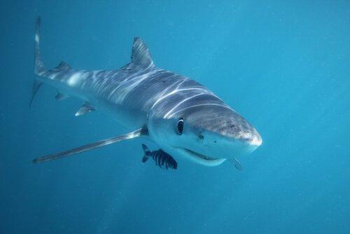 uno squalo nuota nell'oceano