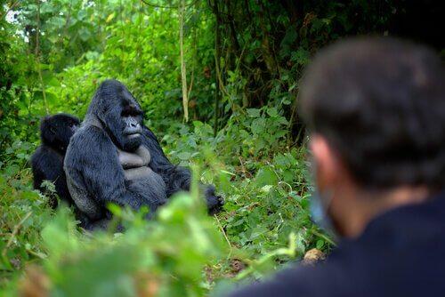 6 guardiani uccisi per difendere i gorilla