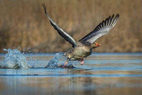 un'oca mentre prende il volo correndo sull'acqua