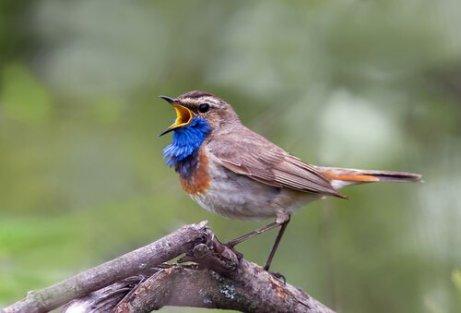 usignolo che canta con petto blu