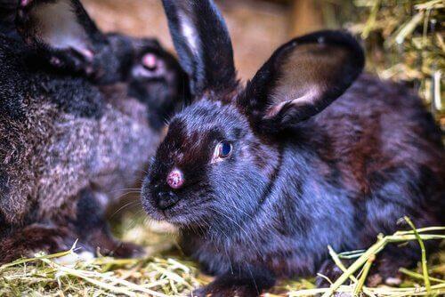 Scopriamo i virus che possono colpire un coniglio