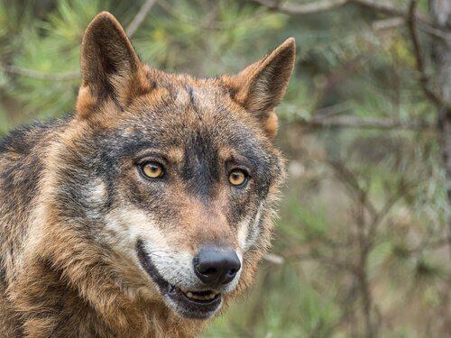 volto e muso di un lupo visto da vicino