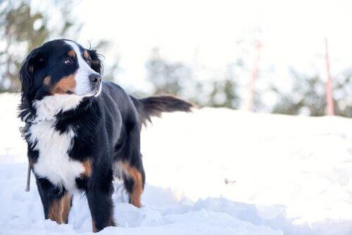 Bovaro del Bernese tra la neve