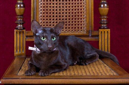 Conosciamo il gatto Havana Brown